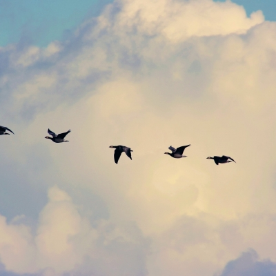 migrating geese flying against background of clouds