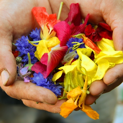 close up of white hands holding multi-colored flower petals - pink, yellow, violet