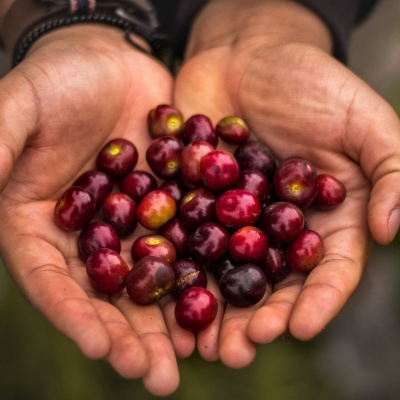 close up of older man creased slightly dirty hands holding a bunch of cherries