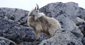 white goat on mountain